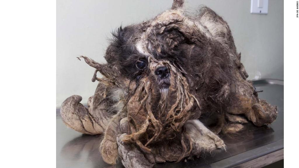 La transformación de un perro vagabundo en Canadá (Spa de Quebec)