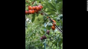 Lo interesante de esta variedad de arbol es ver cómo frutas de difrentes colores y estructuras pueden crecer al lado de la otravvvv.