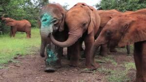 Los elefantes que pierden a su madre son rehabilitados y se les enseña a vivir en su hábitat natural .