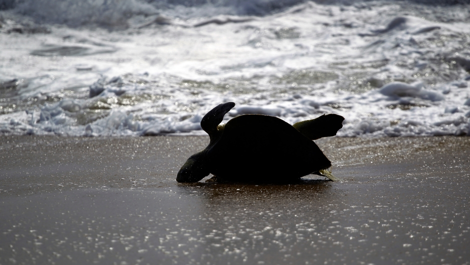An Olive Ridley sea turtle (Lepidochelys olivacea) arrives to spawn during a nesting at Ixtapilla beach, in Aquila municipality on the Pacific coast of Michoacan State, Mexico, on Octuber 13, 2013. According to the residents of the area, more than 1000 turtles are expected to arrive in the area daily this season. AFP PHOTO/Hector Guerrero (Photo credit should read HECTOR GUERRERO/AFP/Getty Images)