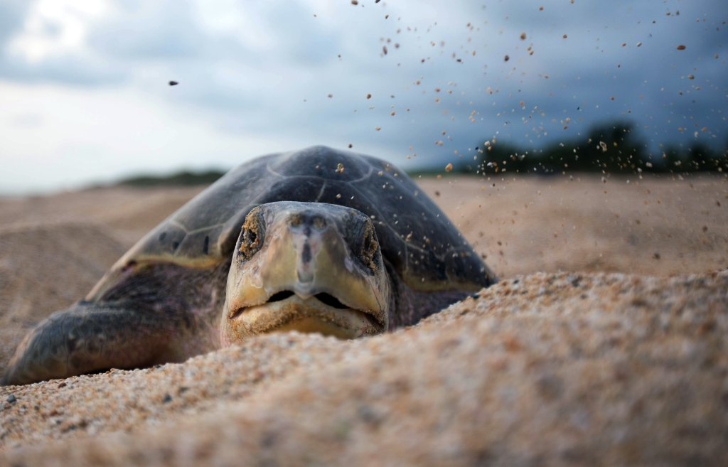 An olive ridley sea turtle arrives to spawn in the Ixtapilla beach, Aquila community, Michoacan state, Mexico on August 8, 2015. On average approximately 50 thousand turtles arriveto spawn in a 3 to 5 days period. AFP PHOTO / ENRIQUE CASTRO (Photo credit should read ENRIQUE CASTRO/AFP/Getty Images)