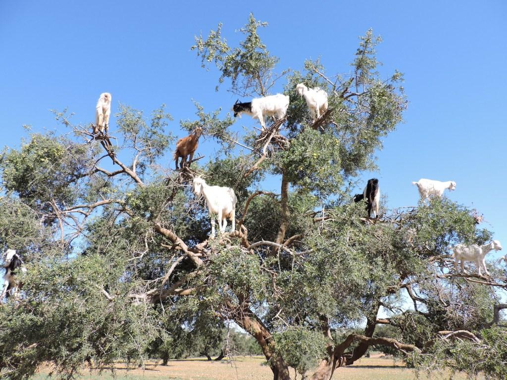 Las famosas cabras marroquíes. (Crédito: Jaqueline Hurtado/CNN)