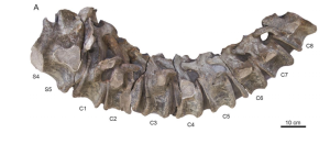 En la imágen se muestran dos vértebras sacras (S4-S5) y las ocho primeras vértebras caudales del dinosaurio recuperadas por los paleontólogos. (Crédito: Cortesía/ CIP)