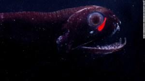 En lugar de emitir sólo una luz azul en todo su cuerpo como lo hacen la mayoría de las especies, el pez dragón emite una luz roja también.