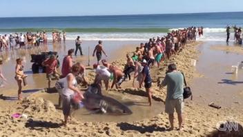Bañistas rescatan a un tiburón blanco varado en la playa