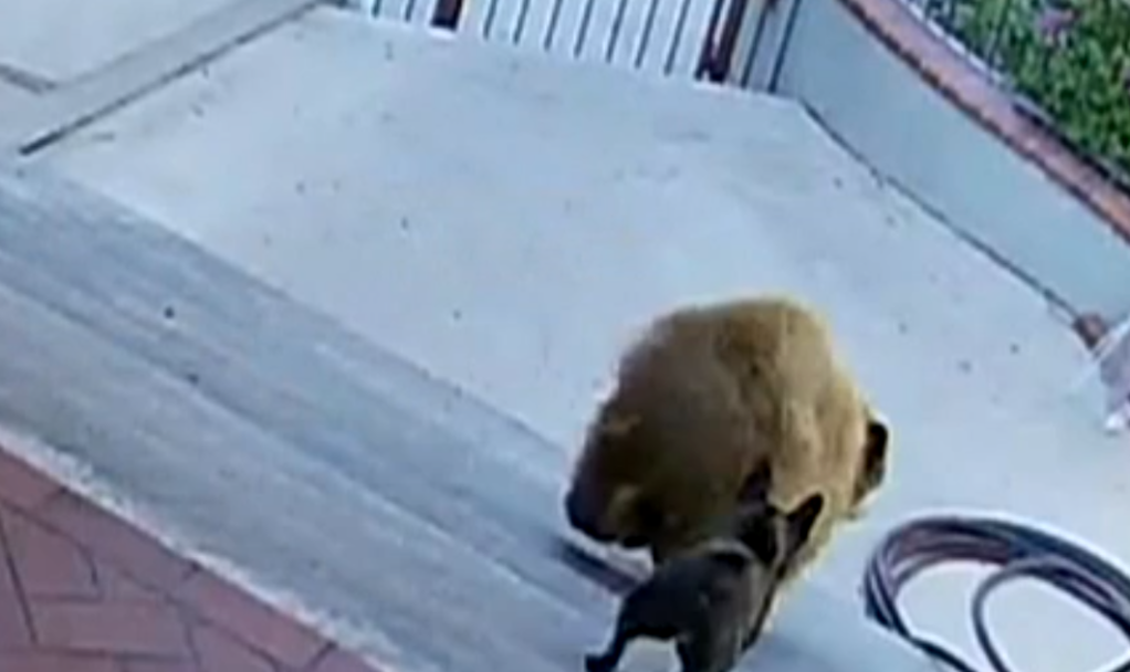 Perro espanta osos bulldog JUles