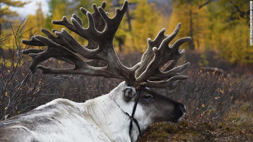 Animal sagrado – Los renos desempeñan un papel importante en la tradición chamanista de los Dukha. El reno blanco es considerado sagrado.