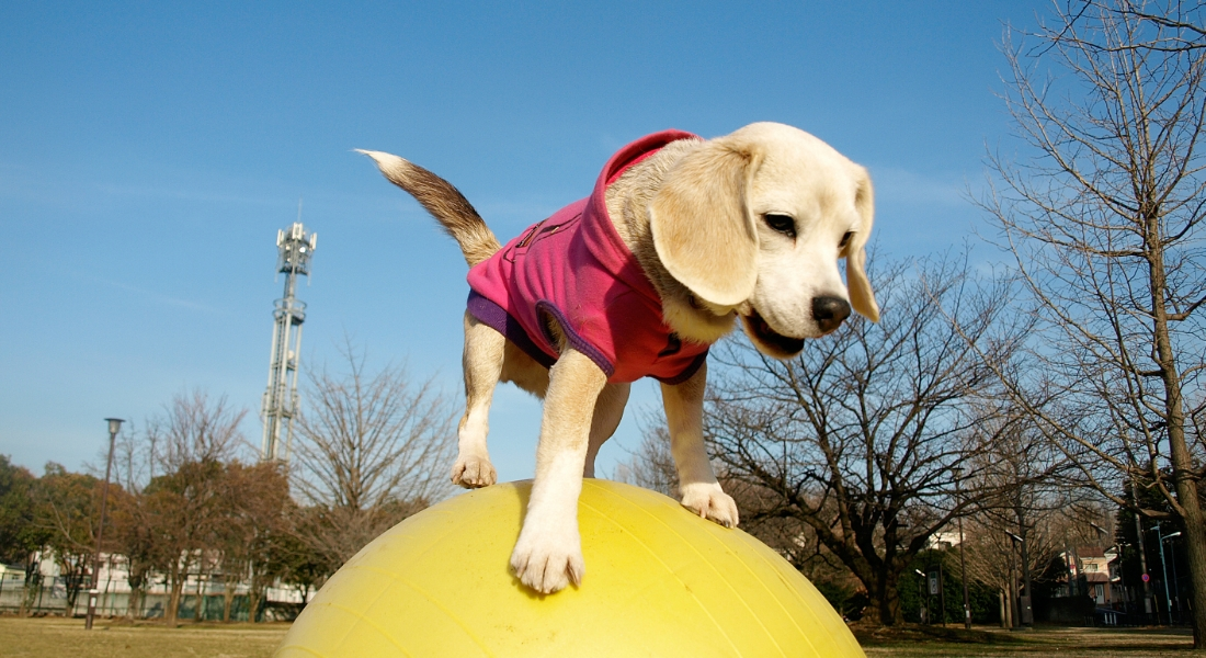 Purin-perrita-japonesa-balones-record-mundial-video-cnnespanol