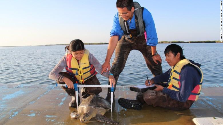 Los estudiantes del Ocean Discovery Institute miden una tortuga marina.