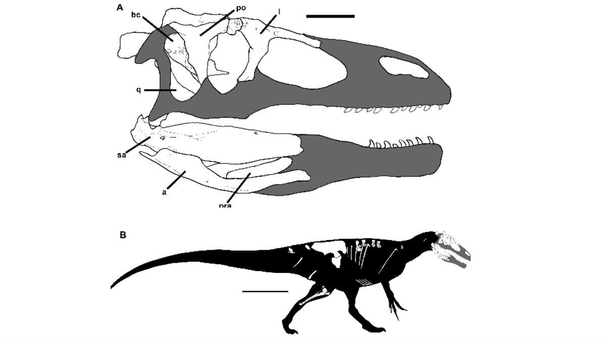 Dinosaurio Megaraptor de la especie de 'Megaraptoridae' que pertenecía al periodo Cretáceo. (Crédito: Rodolfo A. Coria Philip J. Currie/ PLOS ONE)