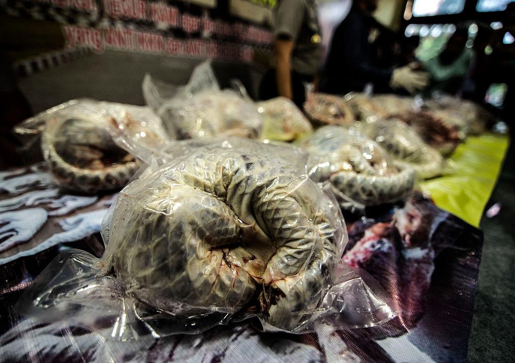 Esta foto muestra algunos de los más de 600 pangolines congelados incautados por la policía de Indonesia al este de Java. (Crédito: JUNI KRISWANTO/AFP/Getty Images)