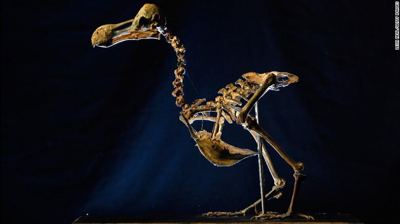 Se cree que el esqueleto del dodo casi completo que acaba de ser subastado, es el primero que se vende desde 1914.