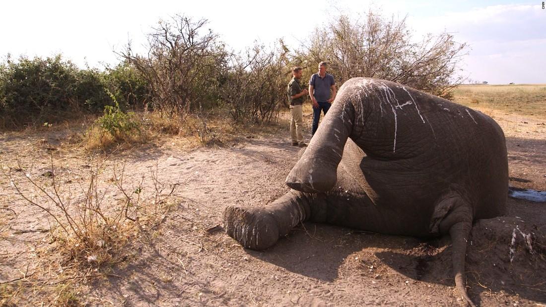 Los elefantes son sacrificados por cazadores furtivos que buscan sus colmillos de marfil.