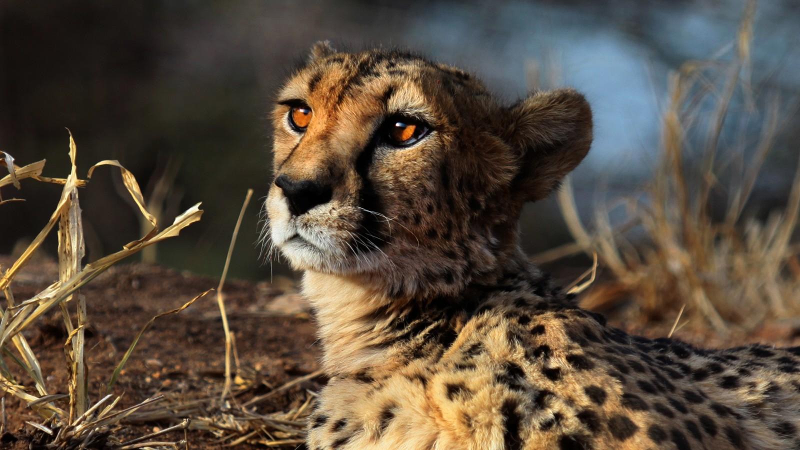 Investigadores creen que solo quedan unos 7.100 guepardos en el mundo.