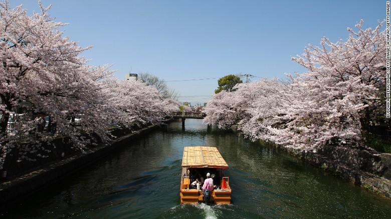 Así florecen los cerezos a lo largo del canal Okazaki, en Kyoto (Japón).