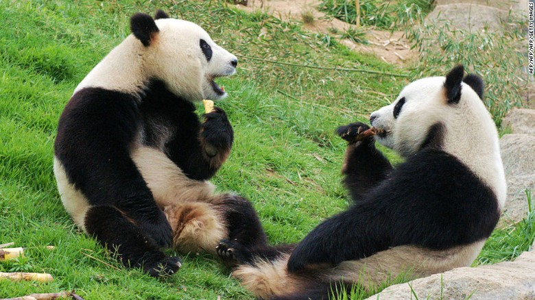 Reserva de pandas gigantes de Chengdu (China).