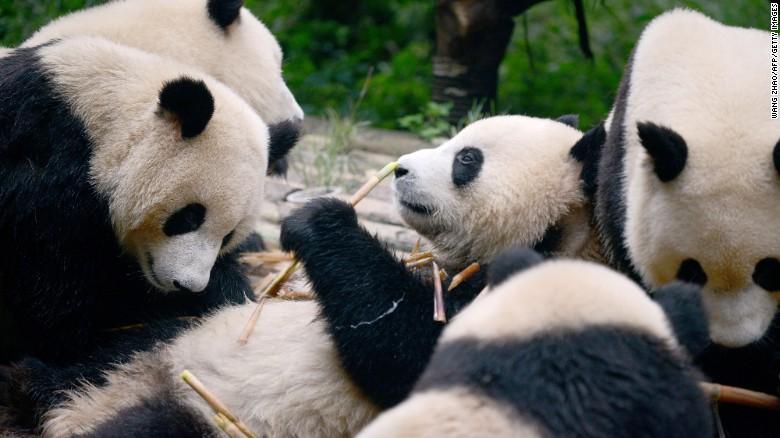 Chengdu, en China, alberga más del 80% de los pandas gigantes que hay en el mundo.