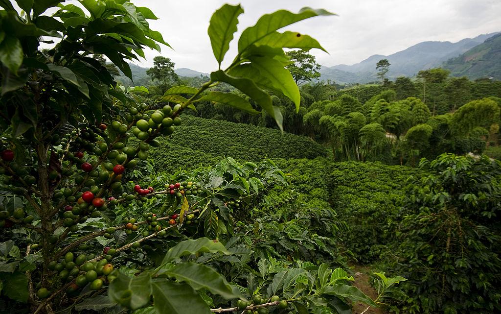 Típica plantación de café en la zona cafetera de Colombia.