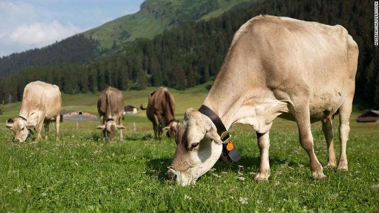 Vacas suizas utilizando cencerros