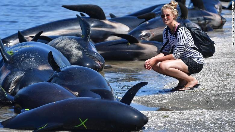 Una mujer observa las ballenas encalladas en la playa de Farewell Spit, en Nueva Zelandia, el 11 de febrero del 2017.