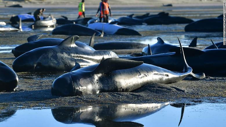 Ballenas varadas en la playa de Farewell Spit, en Nueva Zelandia, el 11 de febrero del 2017.