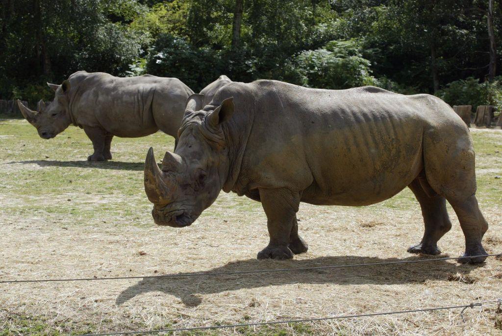 deux rhinocéros se promènent, le 01 août 2002, dans le parc animalier de Thoiry, qui a vu plusieurs heureux évènements se produire ces derniers jours. A photo taken August 01, 2002, of two rhinoceros at the Thoiry Zoo in Thoiry, France. / AFP PHOTO / MARTIN BUREAU (Photo credit should read MARTIN BUREAU/AFP/Getty Images)