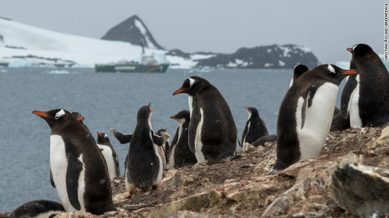Gentoo penguins in front of Greenpeace ship the Arctic Sunrise in Hope Bay on Trinity Peninsula, which is the northernmost part of the Antarctic Peninsula. Just outside Hope Bay, the Antarctic Sound connect the Bransfield Strait to the Weddell Sea. In this area, Greenpeace is about to conduct submarine-based scientific research to strengthen the proposal to create the largest protected area on the planet, an Antarctic Ocean Sanctuary.