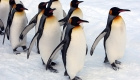 ASAHIKAWA, JAPAN - JANUARY 18: A group of King Penguins walk along a snow-covered path at Asahiyama Zoo on January 18, 2010 in Asahikawa, Japan. The stroll is held every day to counteract their lack of exercise during the winter season. (Photo by Junko Kimura/Getty Images)