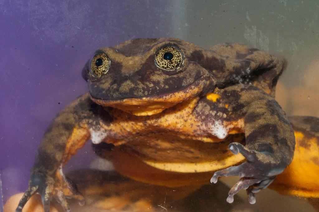 Romeo, rana de agua en peligro de extinción en Bolivia. Crédito: Matias Careaga (GWC)