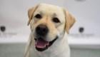 #ElDatoDeHoy: esta es la raza de perro que prefieren en EE.UU.