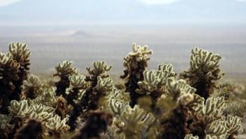 Vista de unos cactus en el Joshua Tree National Park en 2008. (Crédito: GABRIEL BOUYS/AFP/Getty Images)