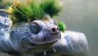 #LaImagenDelDía: tortuga que respira por genitales está en peligro