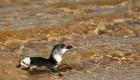 #EstoNoEsNoticia: liberan a cinco pingüinos en Australia