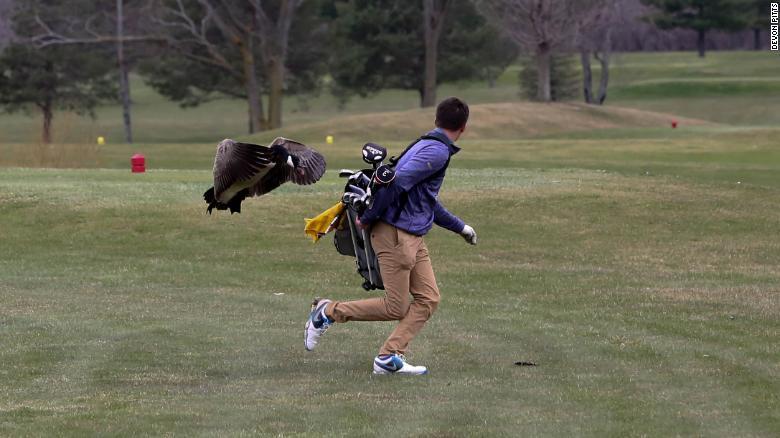 ganso corre hacia un jugador de golf en Estados Unidos