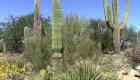 Crean microchips para evitar robo de cactus