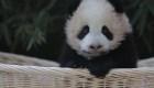 #EstoNoEsNoticia: nombran a dos pandas en China