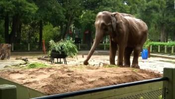 """#ElDatoDeHoy: 50 años de soledad, la historia del elefante """"Pelusa"""""""