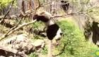 La caída de este panda te enternecerá