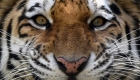 Polémica por la presencia de un tigre real en una graduación