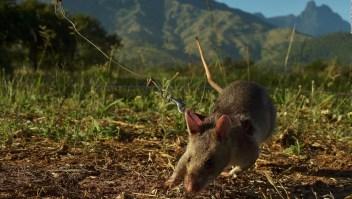 #ElDatoDeHoy: el agudo sentido del olfato de las ratas