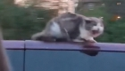 Gato se aferra al techo de un auto a 100 kilómetros por hora