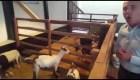 Ministro de Agriculutra de Venezuela recomienda criar cabras en viviendas