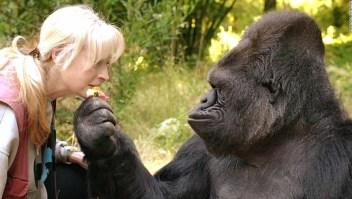 Koko, la gorila que sabía hablar en lenguaje de señas
