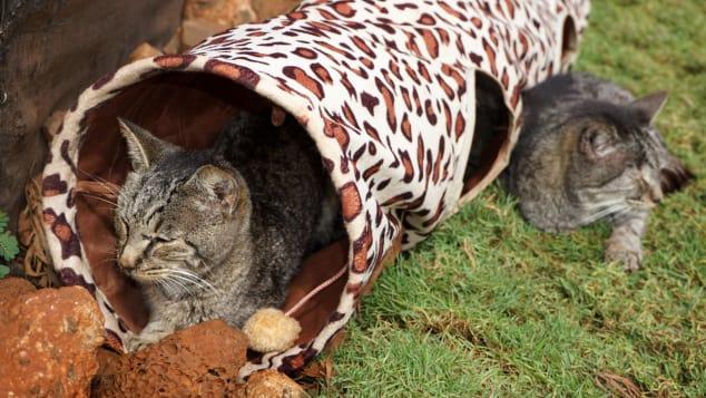 Sabor local: el santuario solo admite gatos de la isla.