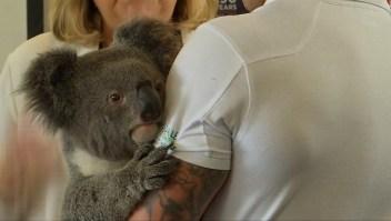 #ElDatoDeHoy: un descubrimiento que salvaría a los koalas