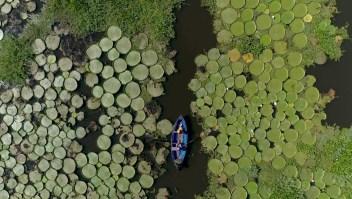 Destinos: Los maravillosos lirios que nacen cerca del río Paraguay