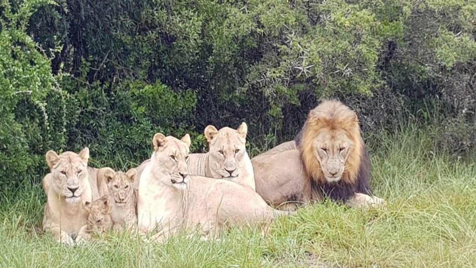 Unos leones devoran a varios presuntos cazadores furtivos de rinocerontes en una reserva de Sudáfrica