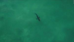 #LaImagenDelDía: tiburón de dos metros asusta a surfistas