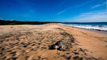 #LaImagenDelDía: la tortuga olivácea llega a la costa mexicana para reproducirse