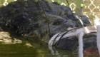 Capturan a monstruoso cocodrilo en Australia